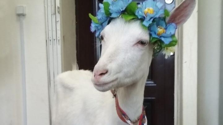 Самарский оракул ЧМ коза Забияка снялась в передаче «Мужское/Женское» на Первом канале