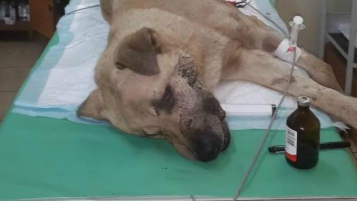 Ярославцев просят помочь собаке, которой поездом отрубило лапу и хвост