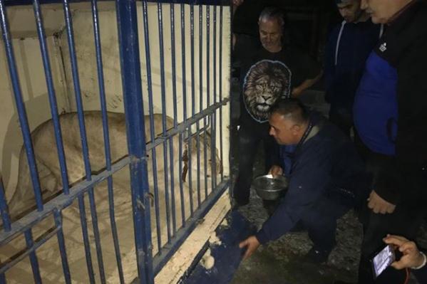Циркач согласился временно передать львицу в приют Карена Даллакяна