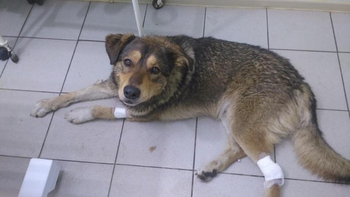 «Два раза переставал дышать»: в Архангельске ищут хозяина псу, которого спасли от смерти подо льдом