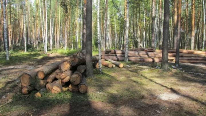 В Ярославской области директор лесничества вырубил деревья на десятки миллионов рублей