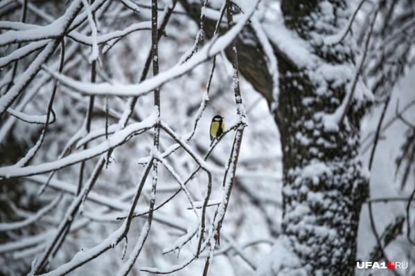 Синички — первый признак зимы