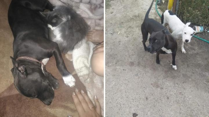 «Он предотвратил трагедию»: соседи встали на защиту жителя Муллашей, застрелившего бойцовскую собаку