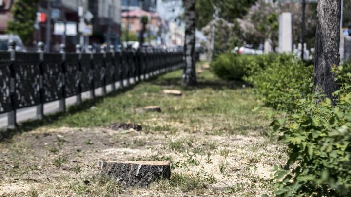 На аллее Красного проспекта срубили два десятка нервных берёз