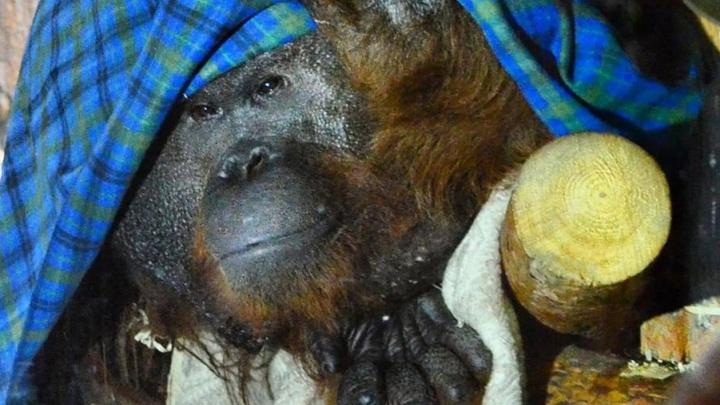 Согрейте Захара: Екатеринбургский зоопарк попросил подарить пледы орангутану
