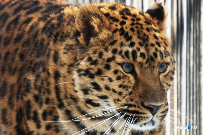 Шаурма с леопардом (фоторепортаж)