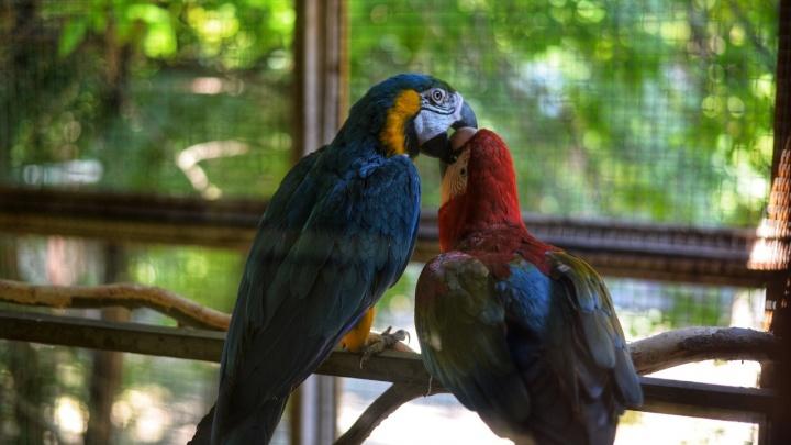 В Ростовском зоопарке на свет появились два попугая ара