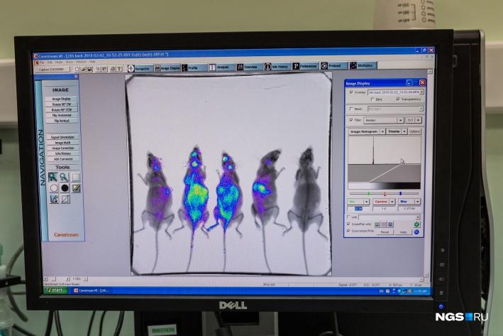 После того как мыши уснули, их перекладывают в прибор для изучения животных. Распределение лекарства во внутренних органах показывается светом<br>