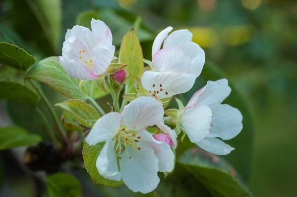 Нежные цветочки появились второй раз за год