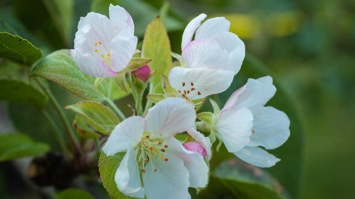 В Красноярске в начале осени зацвела яблоня. Это к холодной зиме