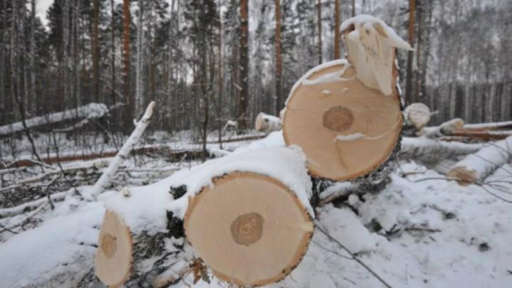 В Ярославской области поймали банду «чёрных лесорубов»