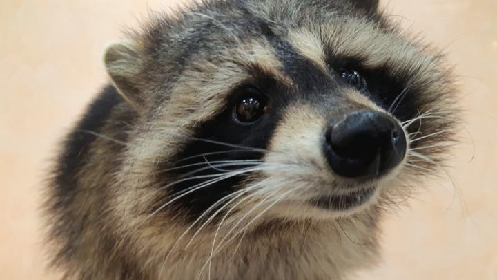 «Павлина загрыз енот»: в Устьянском районе расследуют дело о брошенном зоопарке