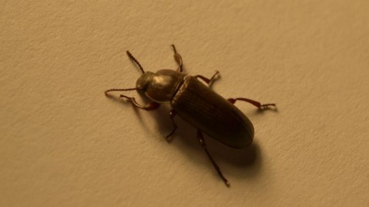 Учёный объяснил нашествие чёрных жуков в Башкирии