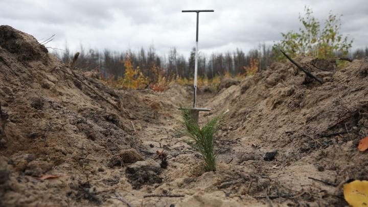 «Можно говорить на диване, а можно реагировать»: как в крае восстанавливают лес после пожаров