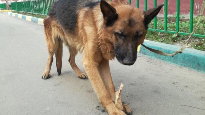 «Поиграются, а потом — на помойку»: в ярославском дворе привязали жутко худого пса