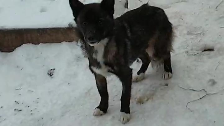 Зоозащитники взяли в осаду передержку в Камышлове, где, по их словам, доводят до смерти собак