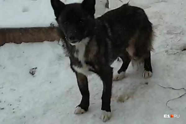 Одна из собак с передержки в Камышлове