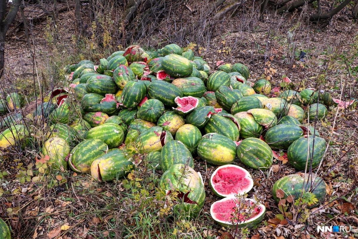 Многие плоды разбиты и пустые изнутри