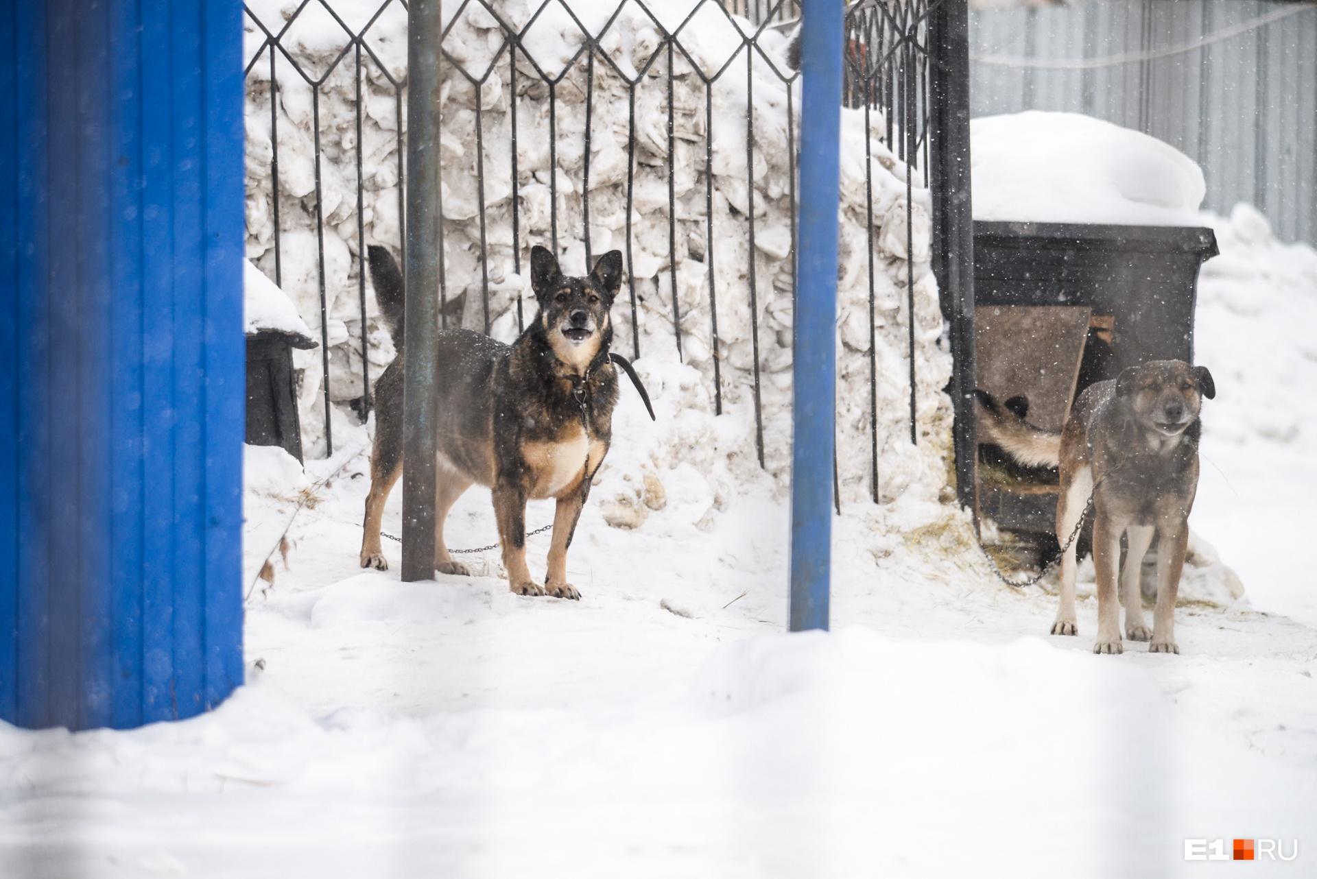Собаки живут на стоянке, и, когда мы приехали, они были привязаны