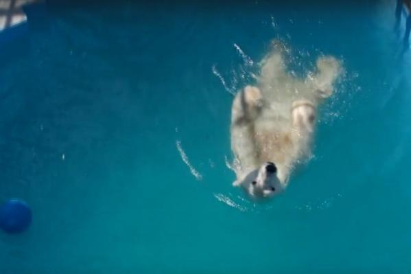 Белым медведям повезло больше остальных —у них есть свой бассейн