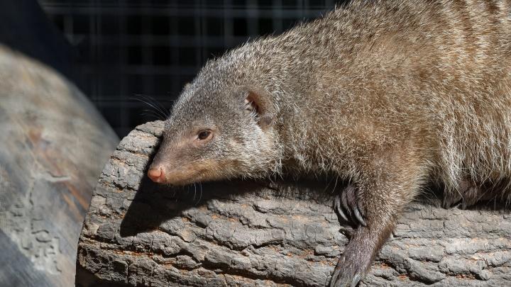 Видео: мангусты в зоопарке набросились на кабачки новосибирцев