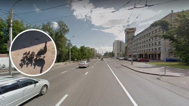Экс-депутат перевел маму-утку с утятами через оживленную дорогу в центре города