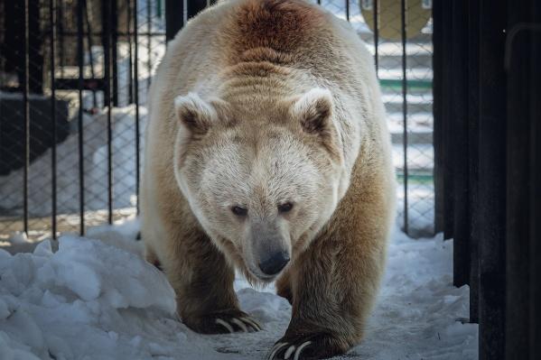 Тяньшанский белокоготный медведь по кличке Памир впадает в спячку на всю зиму