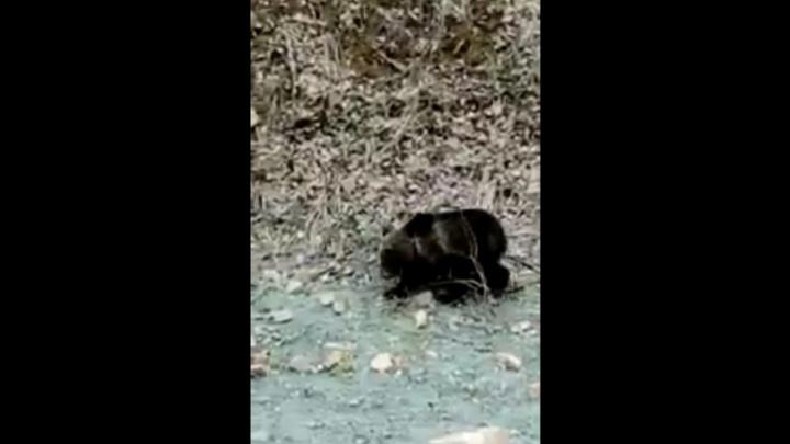 Водитель из Башкирии заснял на камеру дикого медвежонка