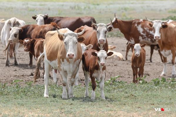 Сотрудники правоохранительных органов уже год разбираются в деле о жестоком расстреле коров
