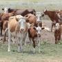 «Они меняли показания»: подозреваемых в расстреле коров волгоградцев уличили в недомолвках