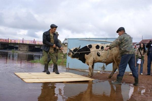 Для обряда выбирают молодого быка