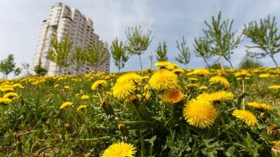 Один раз в год сады цветут: в Волгограде зацвела вишня и высыпали«гроздья» одуванчиков