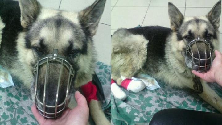 «Одну ампутируем, вторую попробуем вылечить»: зоозащитники спасают пса с отрубленными лапами