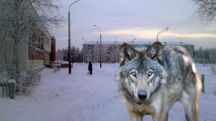 Не паниковать и не убегать: в администрации Талажского объяснили, что делать при встрече с волками