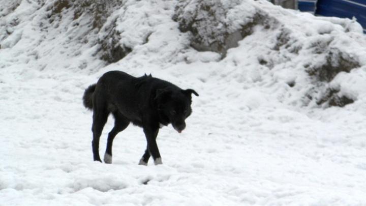 В Москаленском районе на 10-летнего мальчика напала бродячая собака