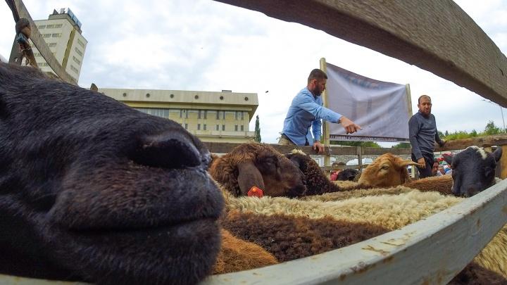 Выборы баранов и пробки из людей: 16 лучших фото Курбан-байрама со всей страны