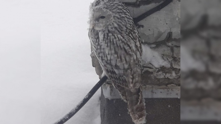 В Новосибирске заметили хищных ночных птиц — ониврезаются в дома и охотятся на крыс