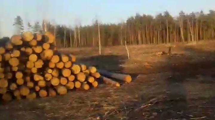 «Готовят под строительство городка к ШОС?»: в челябинском бору вырубили десятки сосен