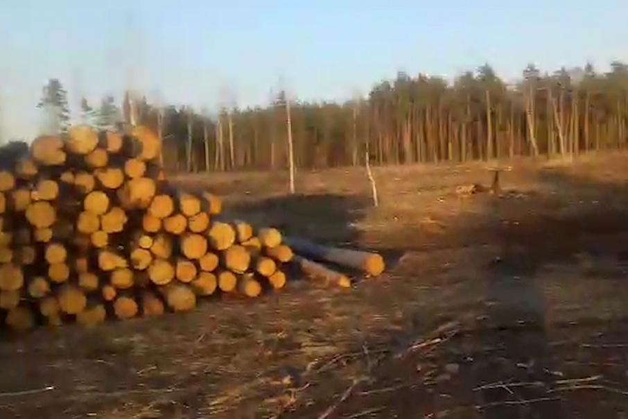 Вместо вырубленных деревьев в бору высадят новые сосны