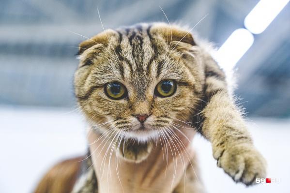 Вислоухие коты такие милые
