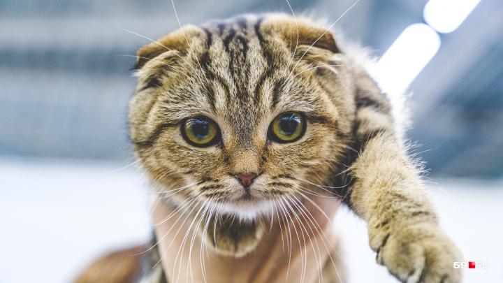 Кролик-обжора и напуганный кот: фоторепортаж с выставки кошек в Перми