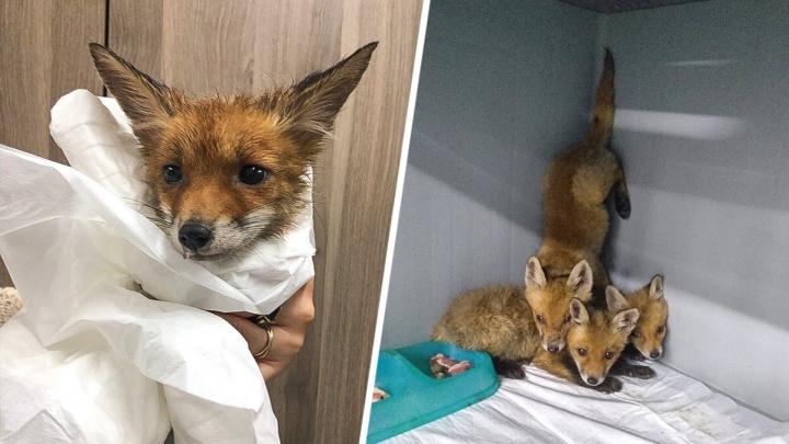 Ростовских ветеринаров заставили выпустить четырех диких лисят на природу