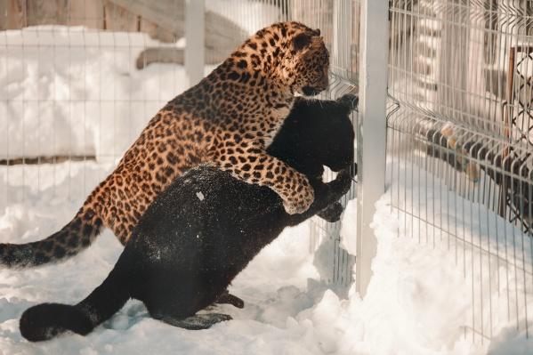 Леопард Миамур обнимает свою Багиру. Разве это не мило?