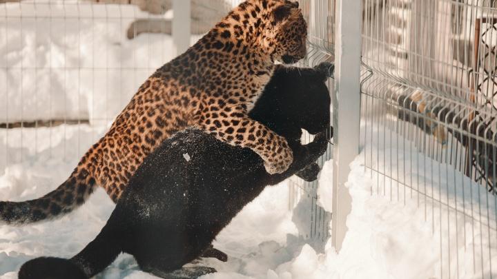 Любовь в большом зоопарке. Смотрим на влюбленные пары из тюменских зверинцев
