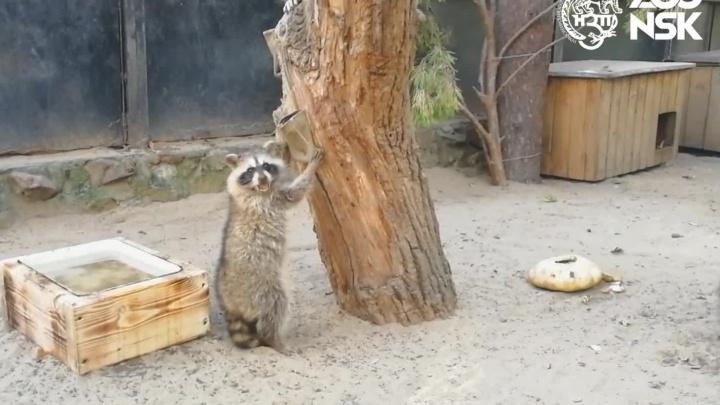 Видео: в Новосибирском зоопарке подросли енотики