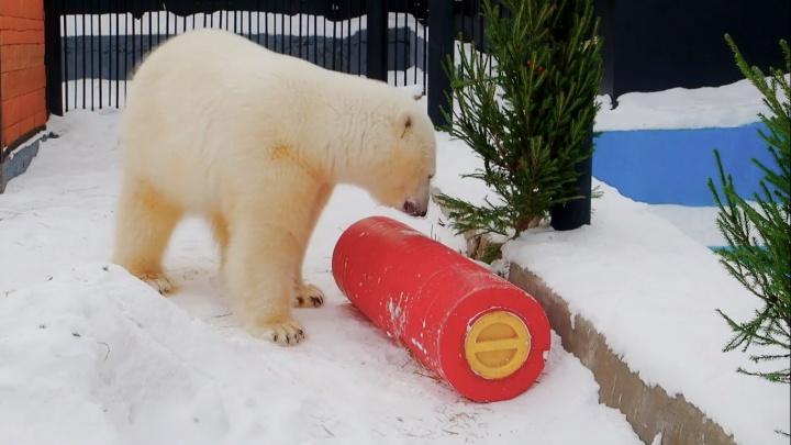 Спасенной из Норильска белой медведице подарили ёлочку и огромную игрушку