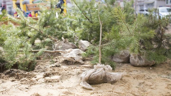 Ярославцам бесплатно раздадут ёлки и берёзы