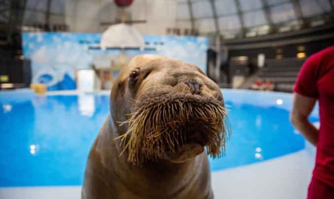 Новосибирский дельфинарий выкупил моржей из «китовой тюрьмы» в Приморье