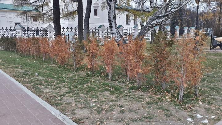 Вокруг церкви Ильи Пророка завяли туи, на которые потратили много миллионов рублей