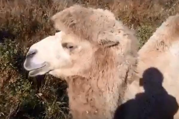 Жители «Солнечного» снова удивились необычному соседу — верблюду, который живет в конном клубе на окраине